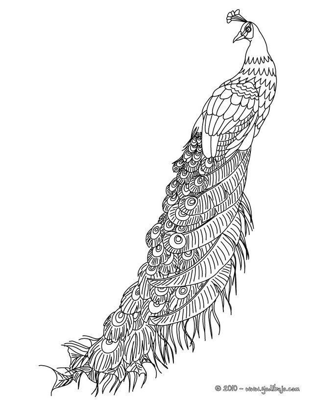 Dibujos AVES para colorear, plumas de PAVO REAL para imprimir ...