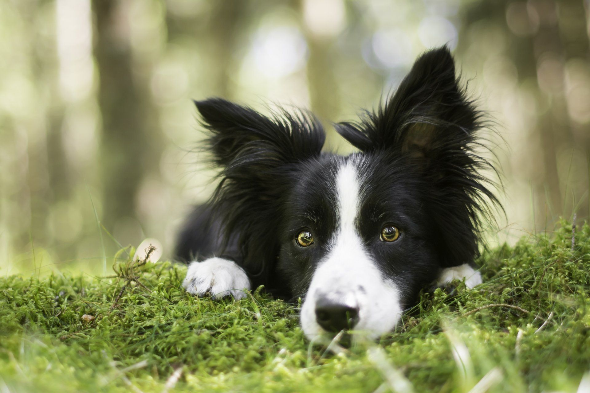 HD Border Collie Wallpapers Border Collie Wallpaper