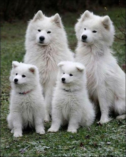 Top Samoyed Chubby Adorable Dog - a97b336dc0d4f1711621039432466501  Gallery_662325  .jpg