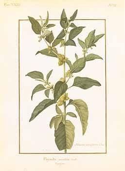 W I T H A N I A S O M N I F E R A botanical drawing by N.Robert Also known as A S H W A G A N D H A, it's rejuvenating and restorative benefits make this Ayurvedic herb highly revered. Ashwagandha is one of the key essential ingredients found in 'Souq', our luminous floral perfume. Available online www.theayu.com.au