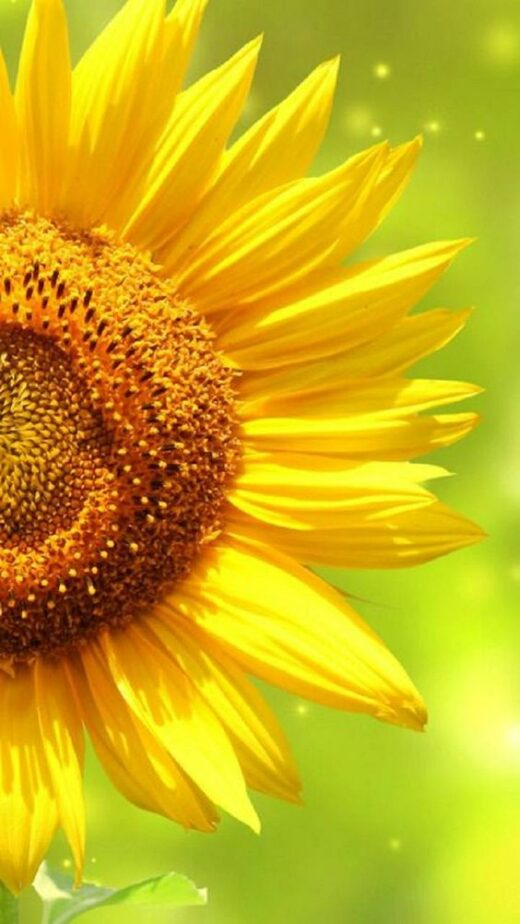 I Love Sunflower Not Just Because It Symbolizes The Sun But More Because Of Its Unique Language Sunflower Wallpaper Sunflower Pictures Sunflower Photo