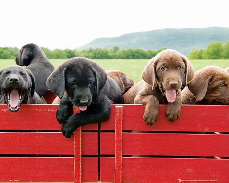 Hundewelpen auf rotem Wagen Hundewelpen, Hunde welpen
