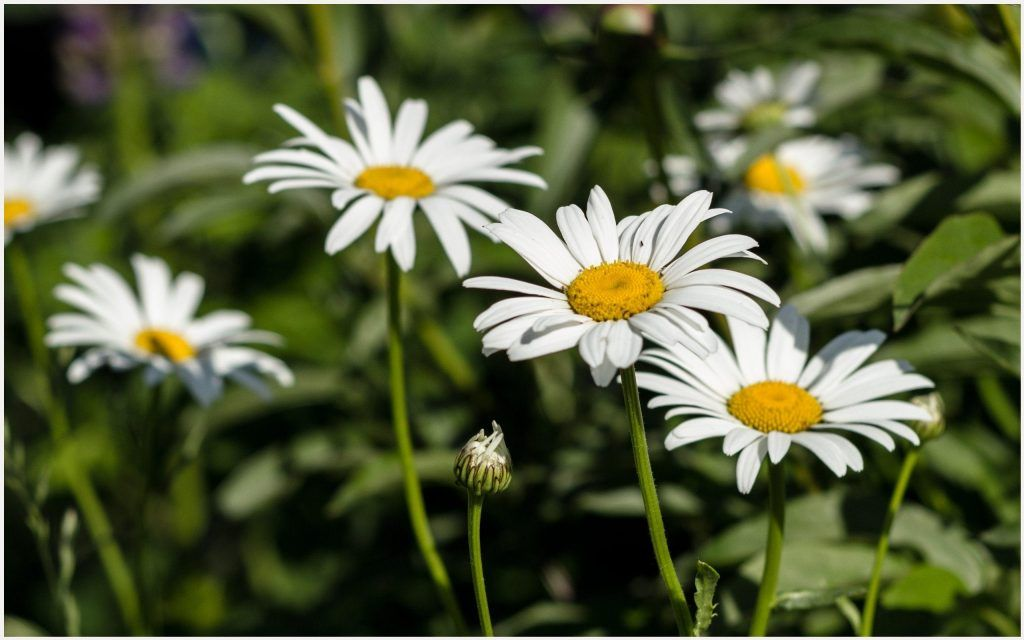 Beautiful White Daisy Flowers Wallpaper beautiful white
