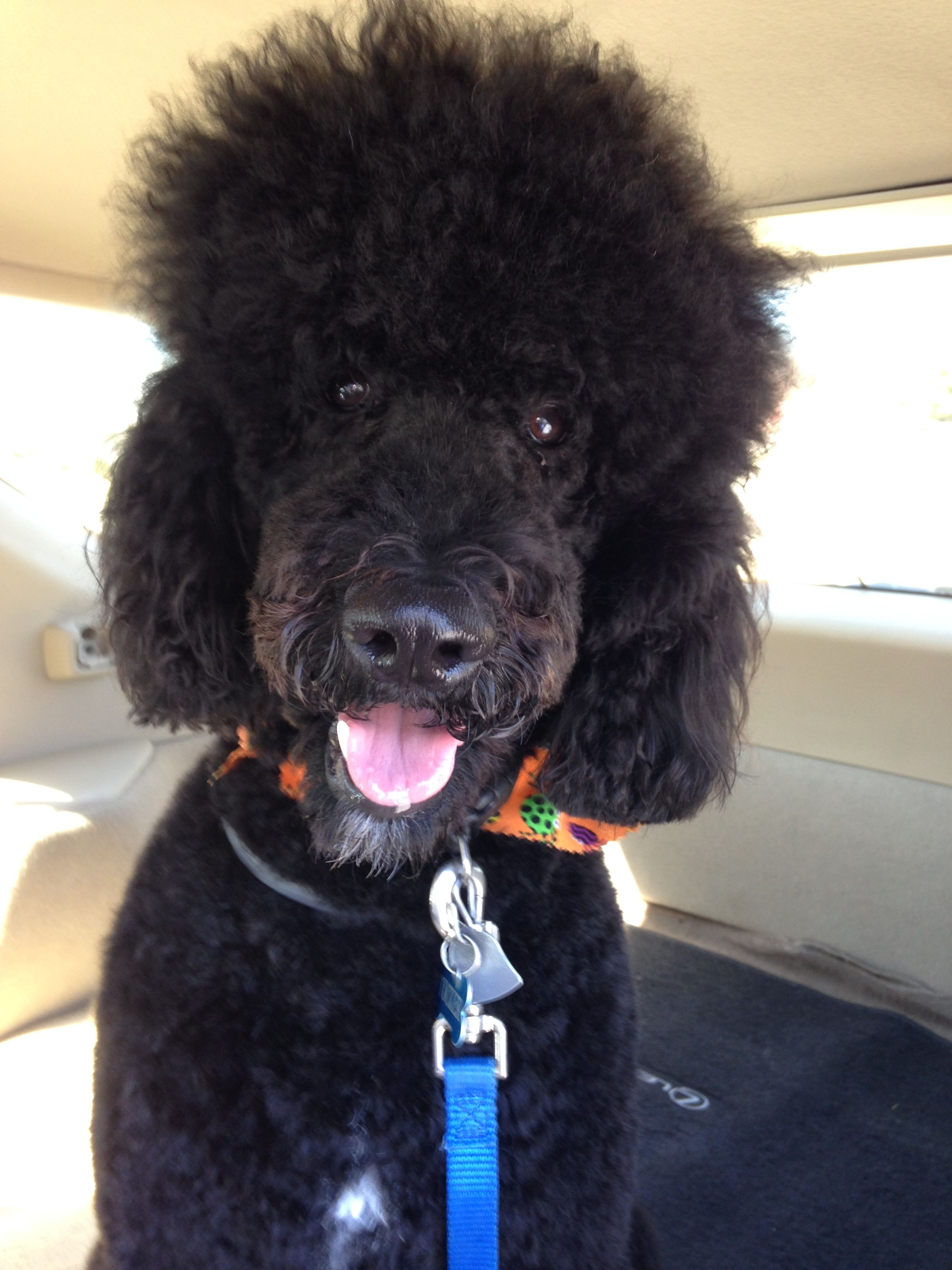 Momseriously white puppies poodle standard poodle