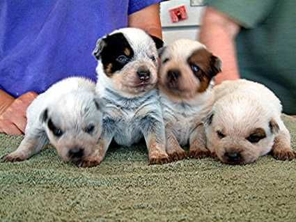 Google Image Result For Http Dogs Y2u Co Uk Photo Rn Dog Cattle Blue Heeler 02 Jpg Heeler Puppies Australian Cattle Dog Puppy Australian Cattle Dog