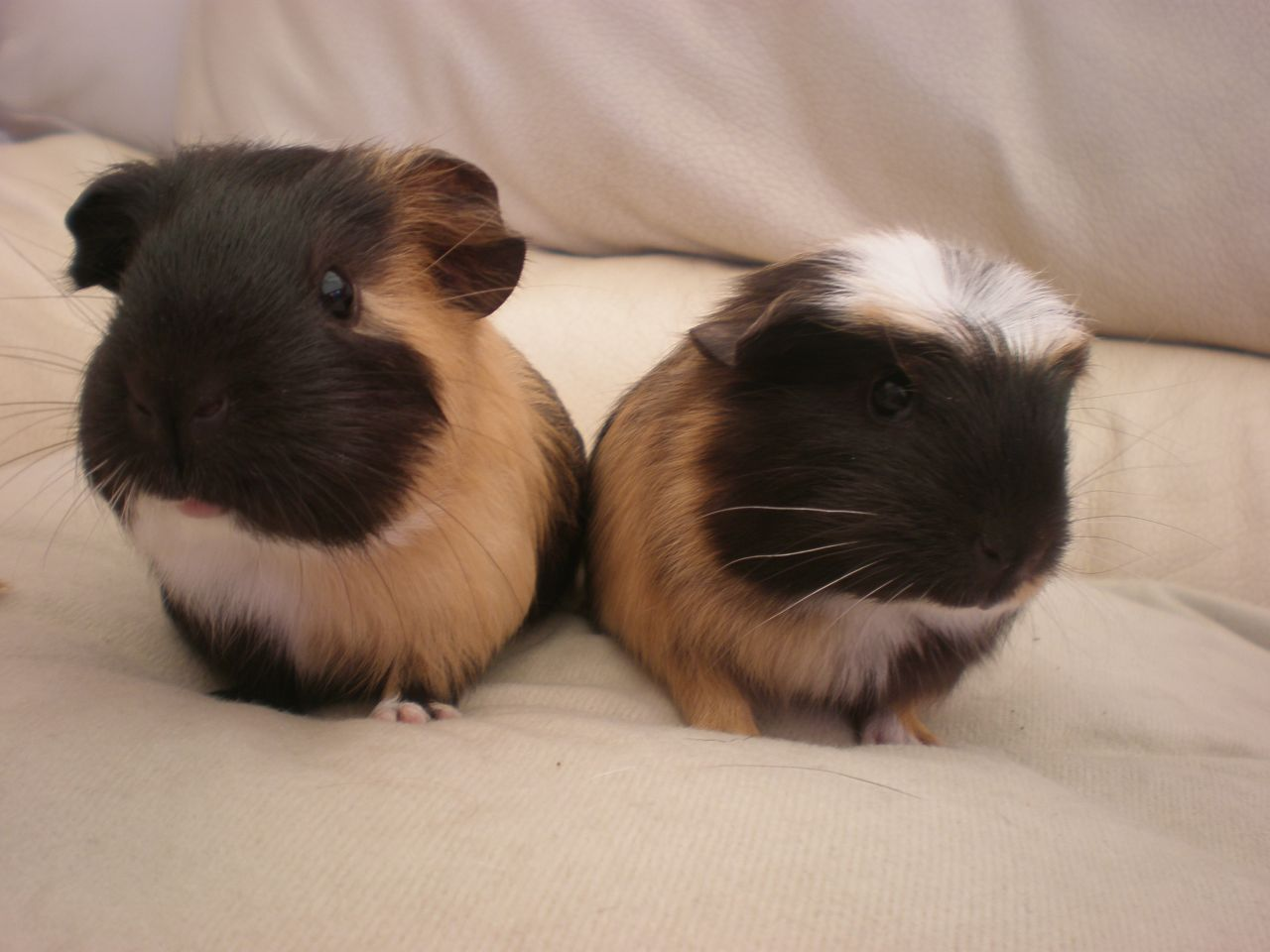 Pin On Baby Guinea Pigs For Sale
