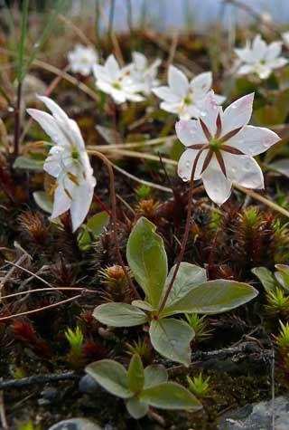 Metsätähti, Trientalis europaea - Kukkakasvit - LuontoPortti