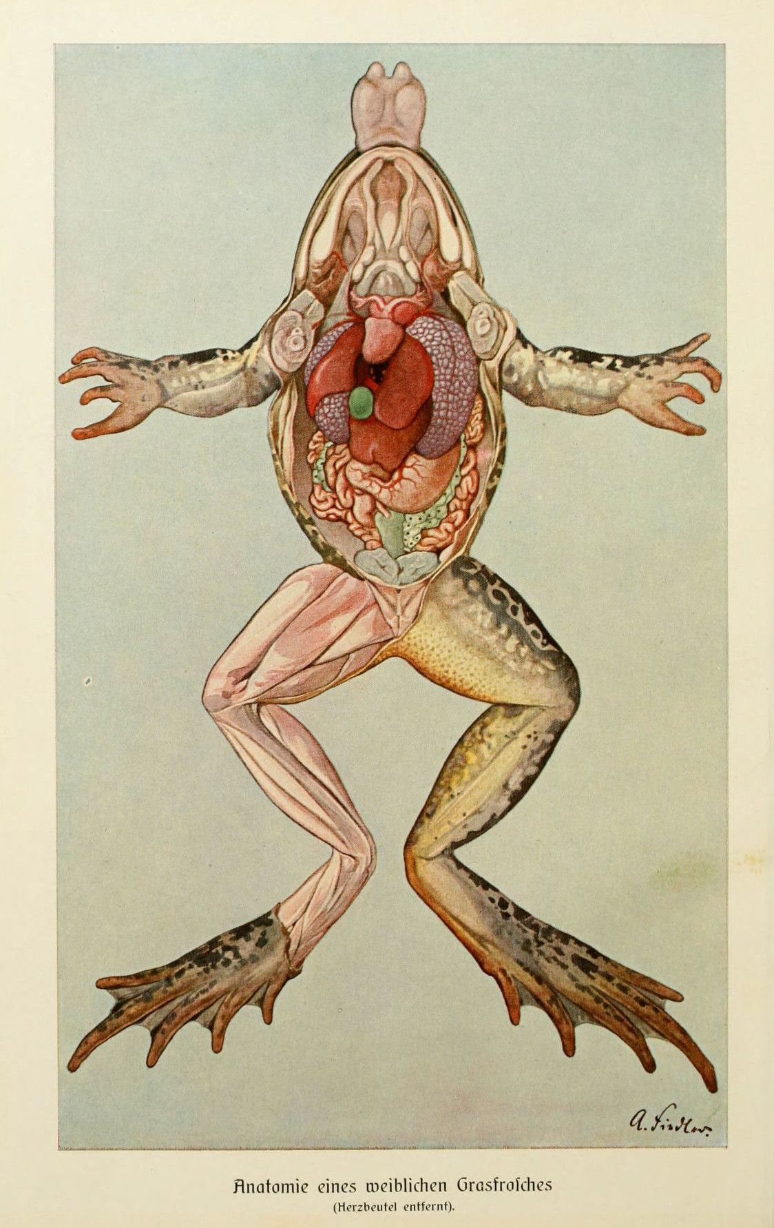 Anatomía interna de las ranas. | granotes | Pinterest | La rana ...