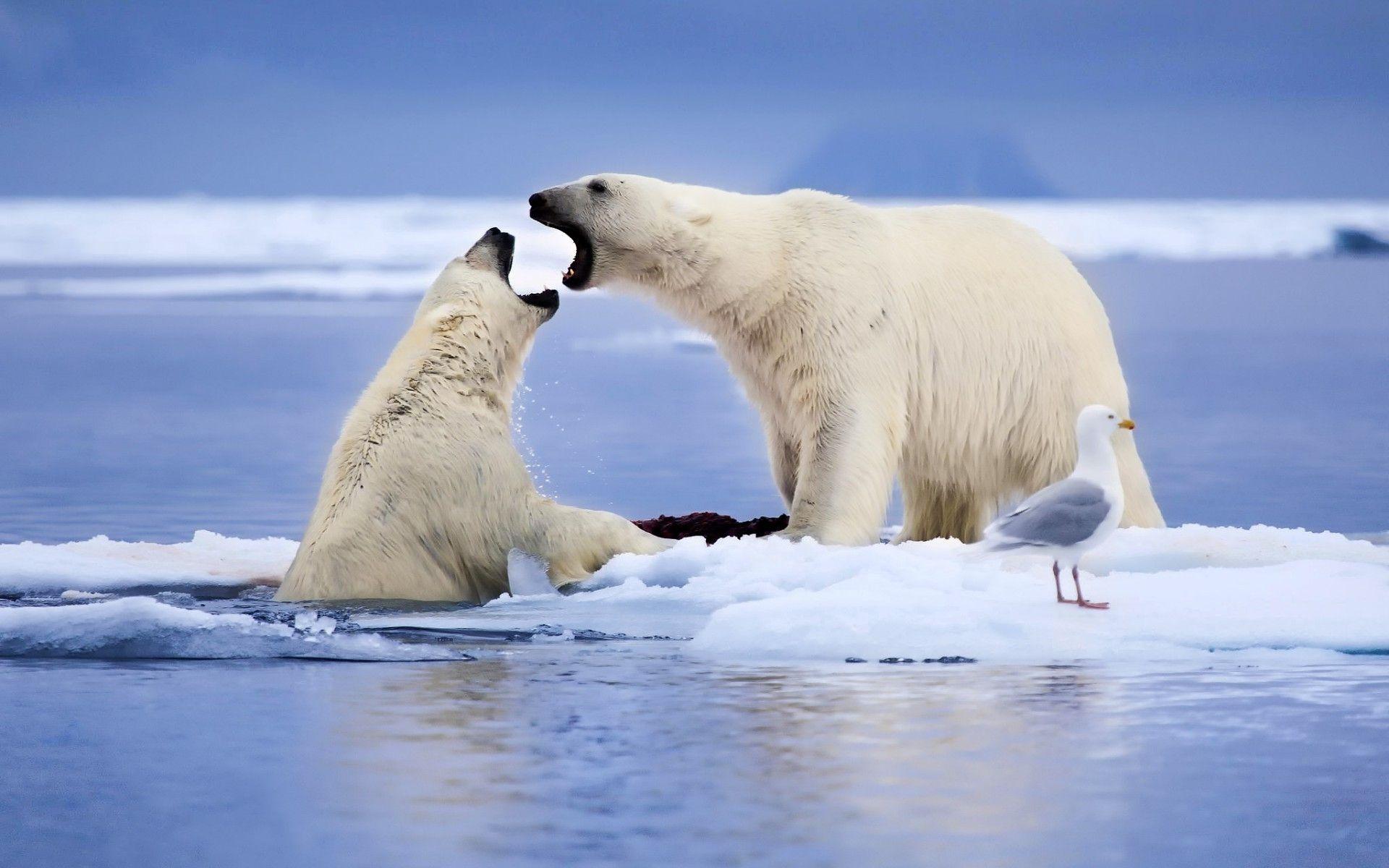 polar bears wallpaper | national wildlife | pinterest | bear