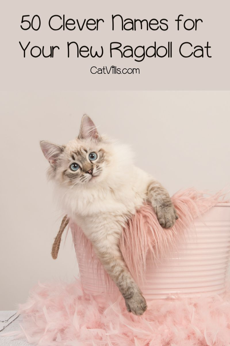 50 Clever Ragdoll Cat Names We Just Love CatVills in