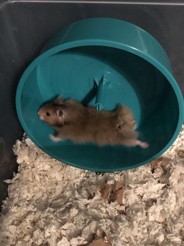 Pin By Peter Hovis On Rj Hamster Hamster Cute Hamsters Petsmart