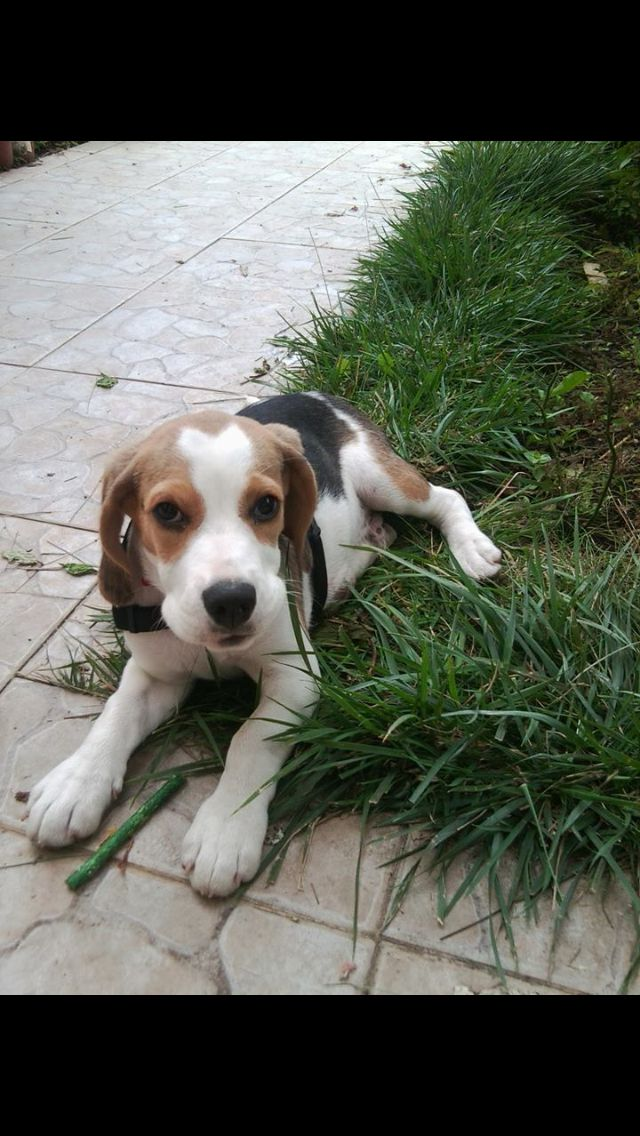 Here I Am The Only Living Beagle In Your Yard New York Blue