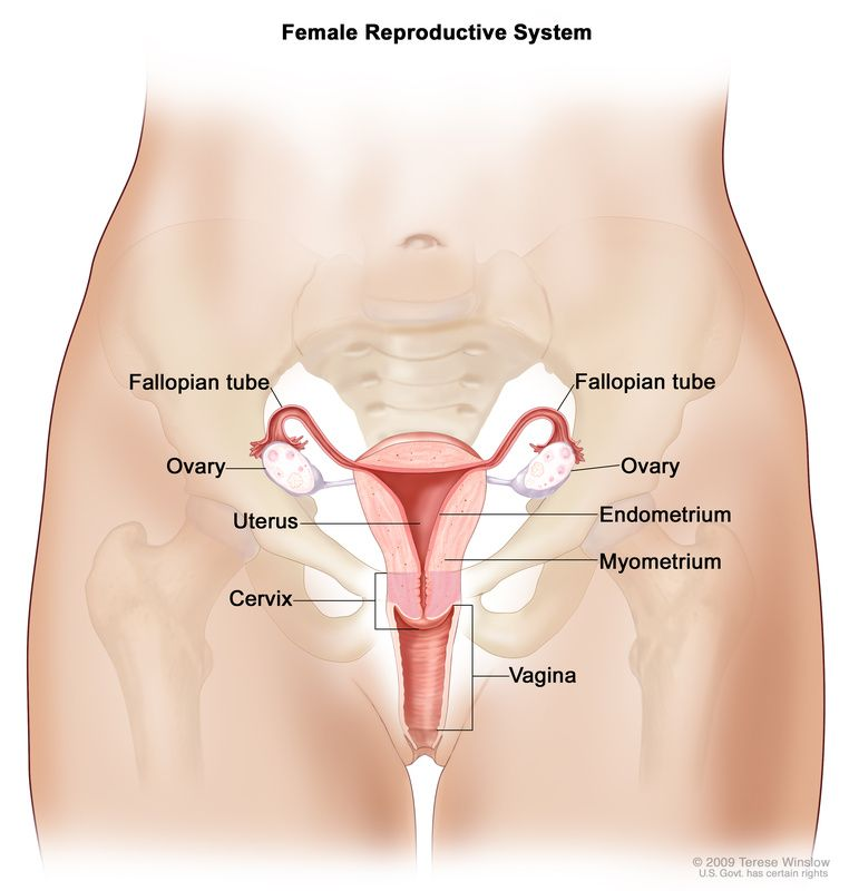 Anatomy Of The Female Reproductive System Drawing Shows The Uterus