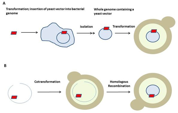 Schematic Representation Of Transformation In Yeast Transformations Yeast Introduction