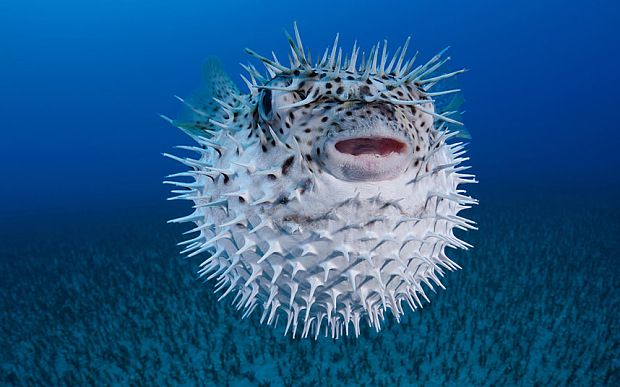 Puffer fish google search hahaha pinterest mouths for A puffer fish