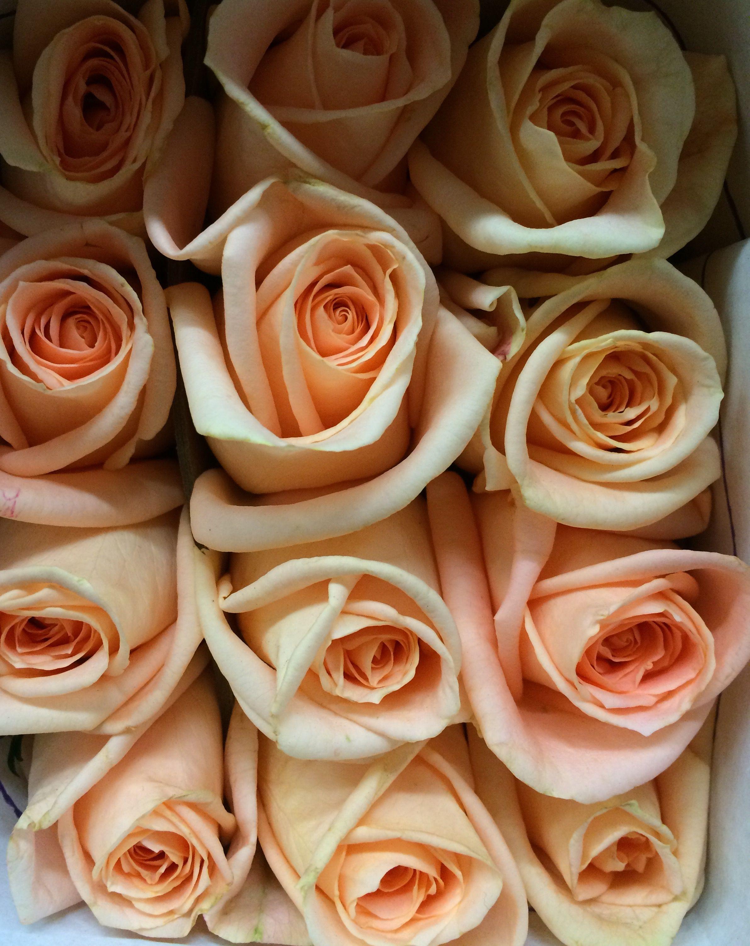 Home bulk roses peach roses - Osiana Roses All Year