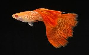 Albino Red Cobra Guppy Guppy Pro Guppy Fish Guppy Aquarium Fish