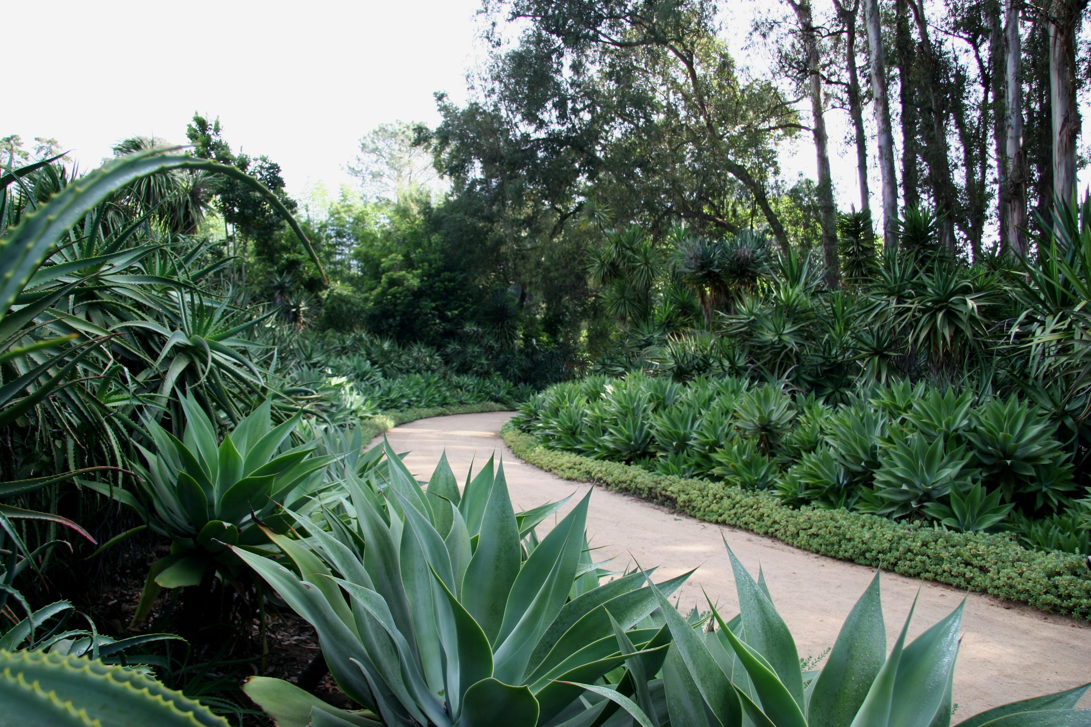Chic Agave Attenuata For Garden Decoration Ideas: Inspiring Agave ...