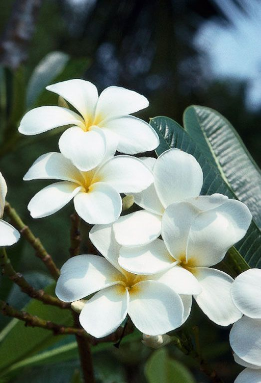 Plumeria Alba Flower Periwinkle Family Plumeria Plumeria Alba West Indian Jasmine Previous Plumeria Flowers Plumeria Planting Flowers