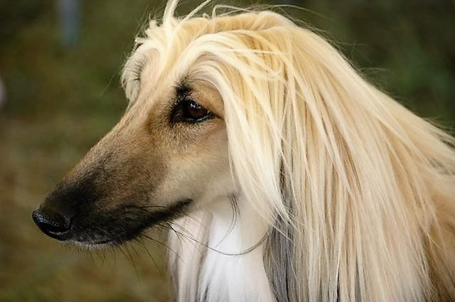 Afgano Long Haired Dogs Afghan Hound Dog Breeds