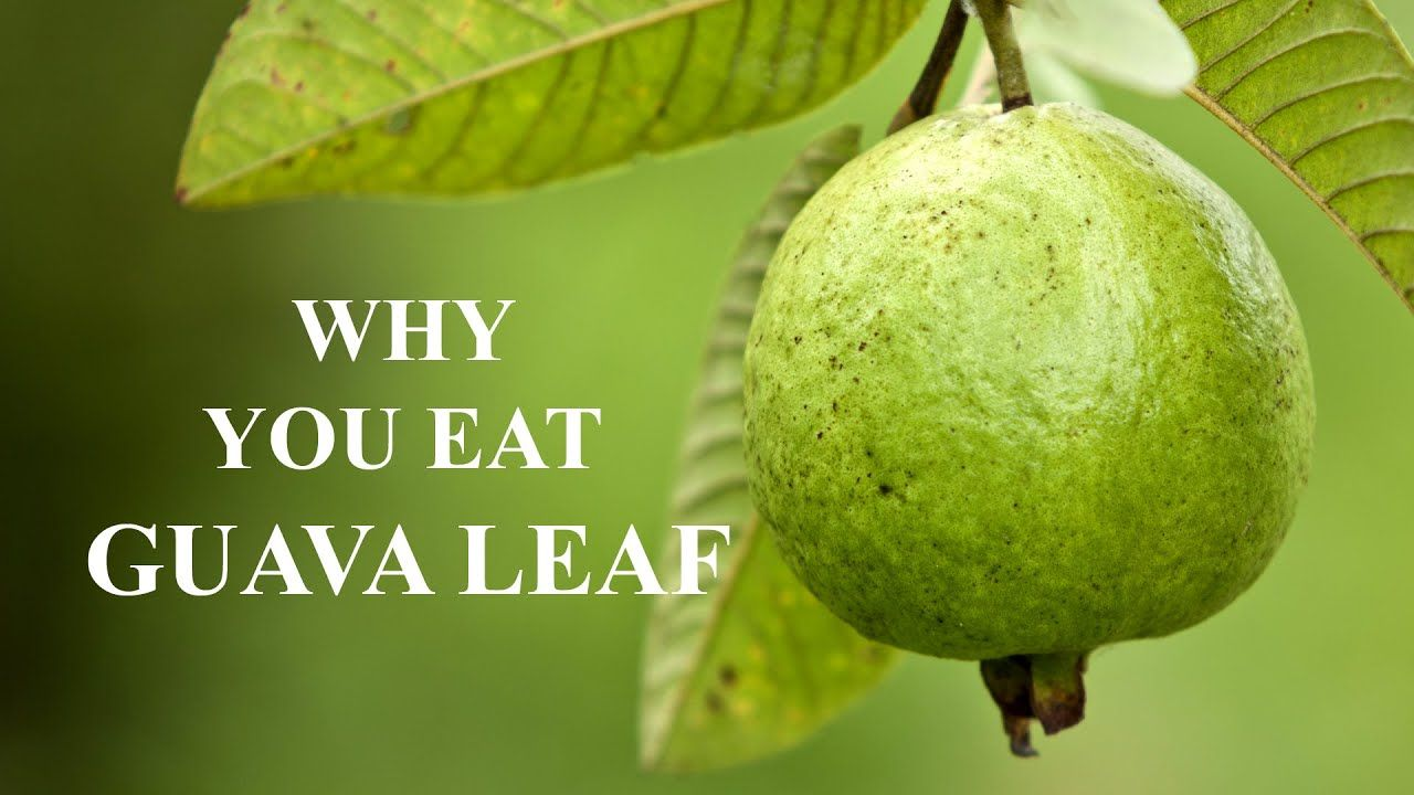 Guava Leaves Benefits Top 10 Guava Fruit Benefits and