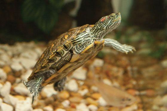 Teacher S Guide To Classroom Pets Reptile Petsmart Turtle Care Reptiles Pet Classroom Pets