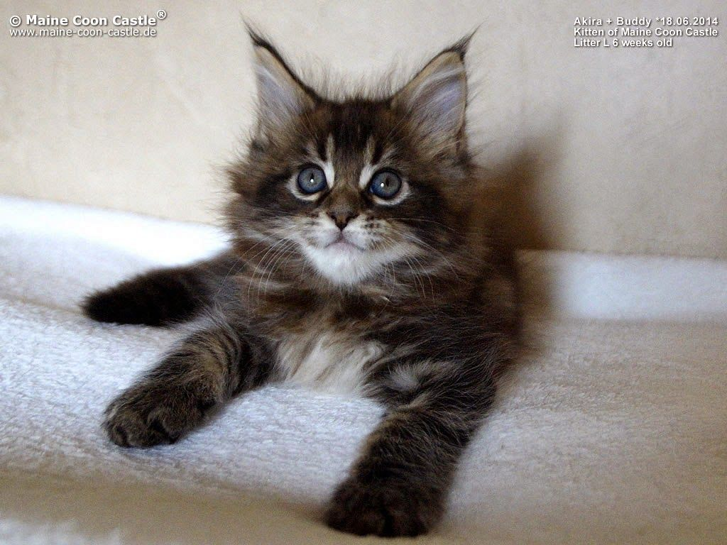 Maine Coon Castle 6 Weeks Old