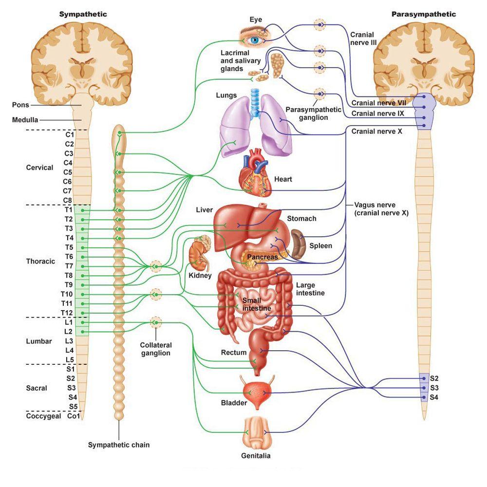 nervous system function nervous system diagram nervous system anatomy central nervous system  [ 1000 x 1000 Pixel ]