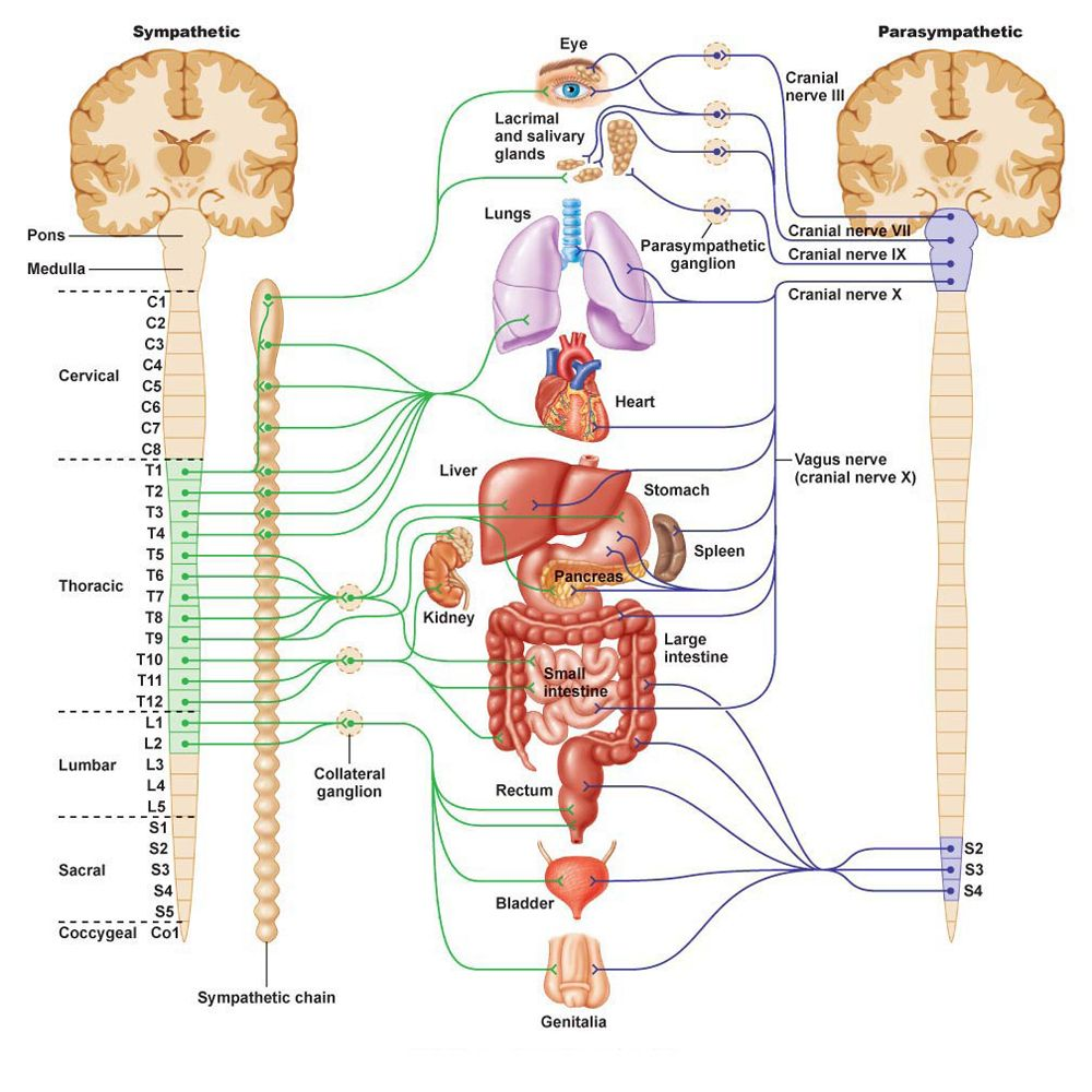 hight resolution of nervous system function nervous system diagram nervous system anatomy central nervous system