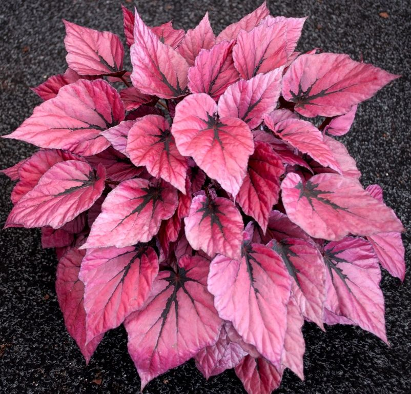 Begonia Rex Shadow King Life Style Plants Shade Plants