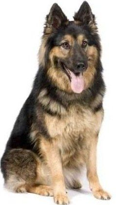 German Shepherd Puppy Dog Love The Light Color Of The Chest