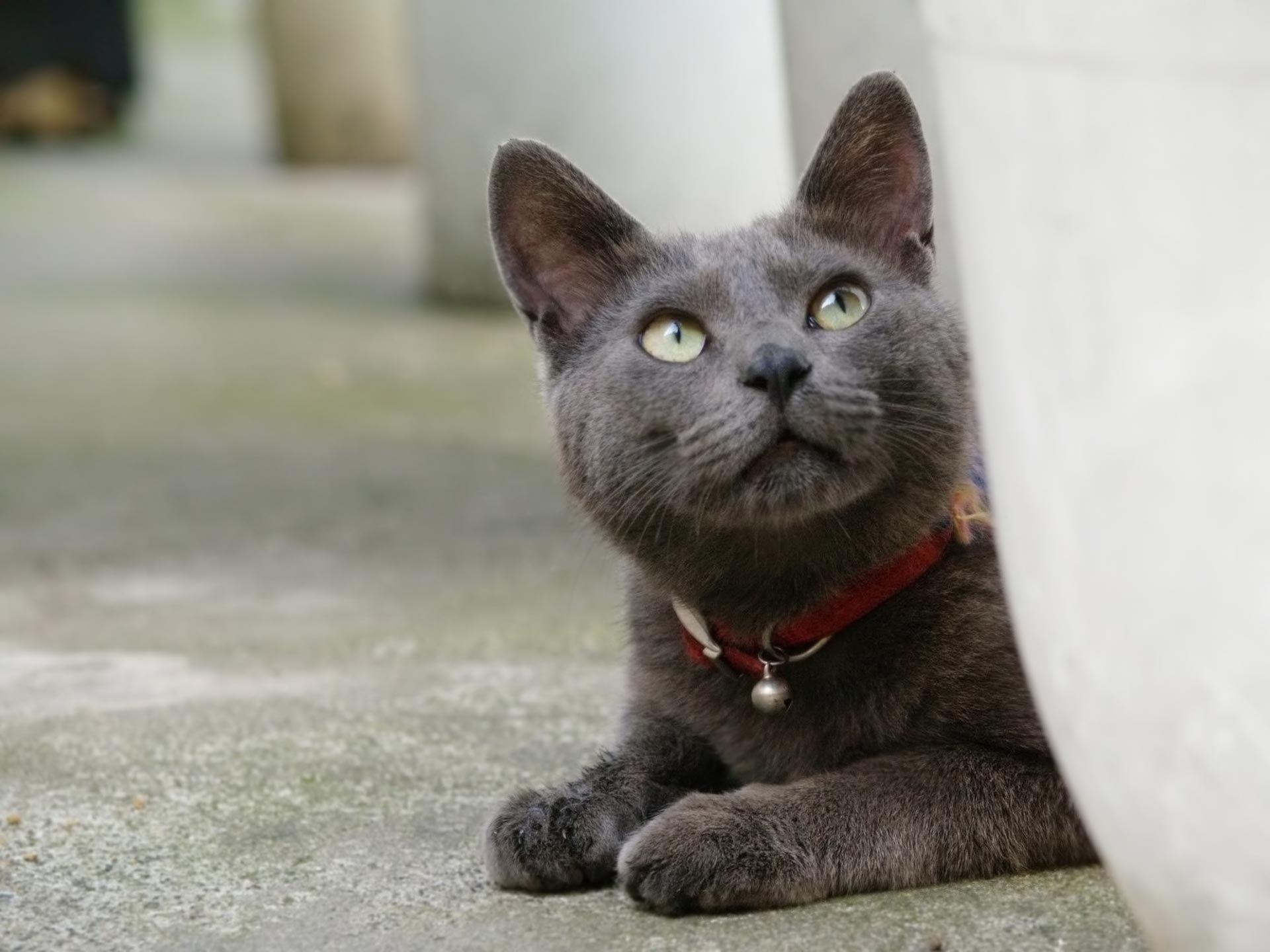 Kitten Cat Big cat Korat Cats Pinterest
