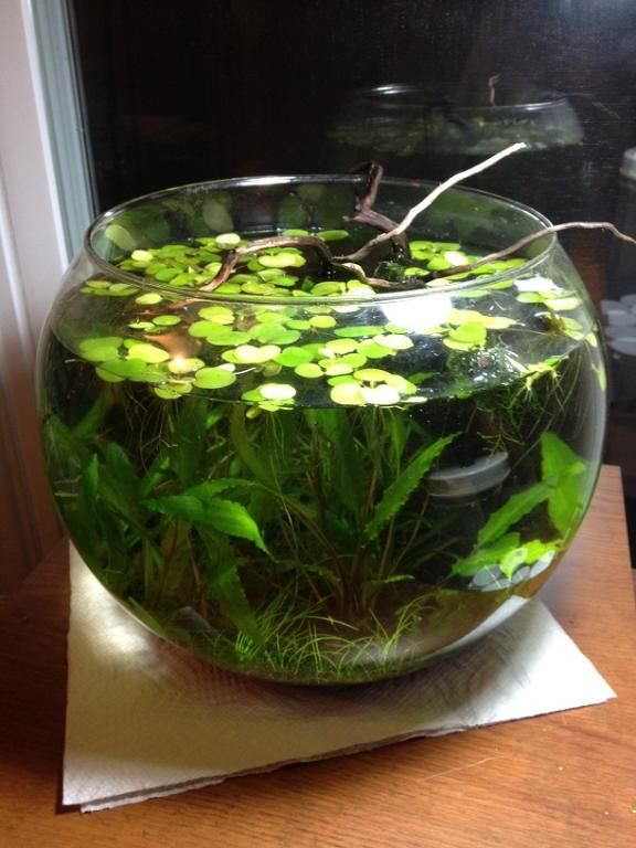 Riparium fish bowl google search aquascaping for Betta fish bowl ideas