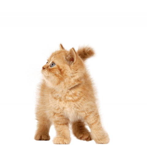 Brown Cat Png Transparent Images Brown Cute Cat Png Transparent Images Cat Get To Download Free Brown Cat Png Vector Photo In Hd Free Cats Image Cat Cats