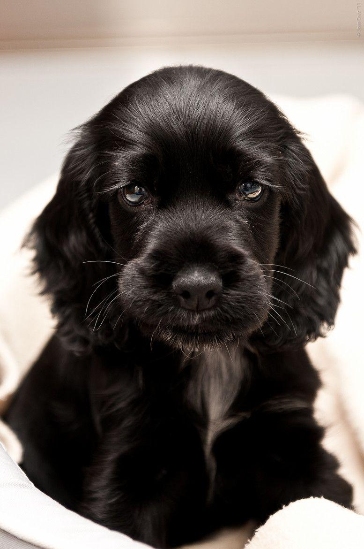 Adorable Cocker Spaniel Puppy Dog Puppy Hound Chien Perro