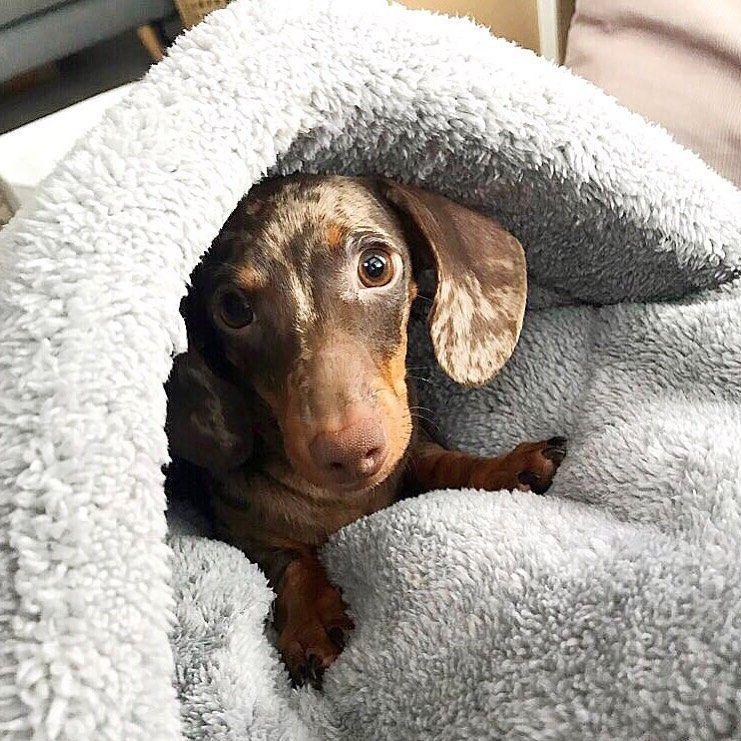 Why Do Dachshunds Like To Burrow Under Blankets Dapple Dachshund
