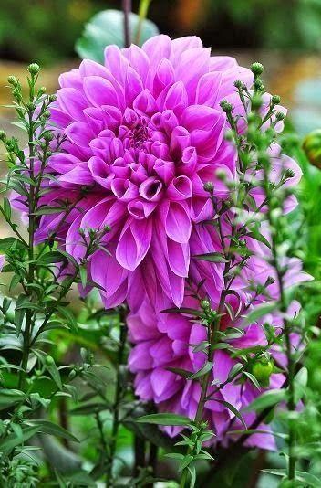 """Purple Dinner Plate Beautiful gorgeous pretty flowers"""