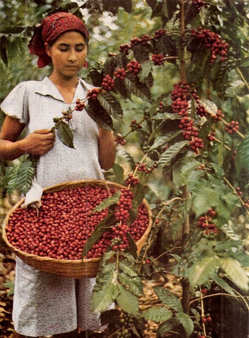 Estos son los arboles donde se produce y se corta el café de El Salvador...coffee: El Salvador National Geographic July - December 1944 #elsalvadorfood