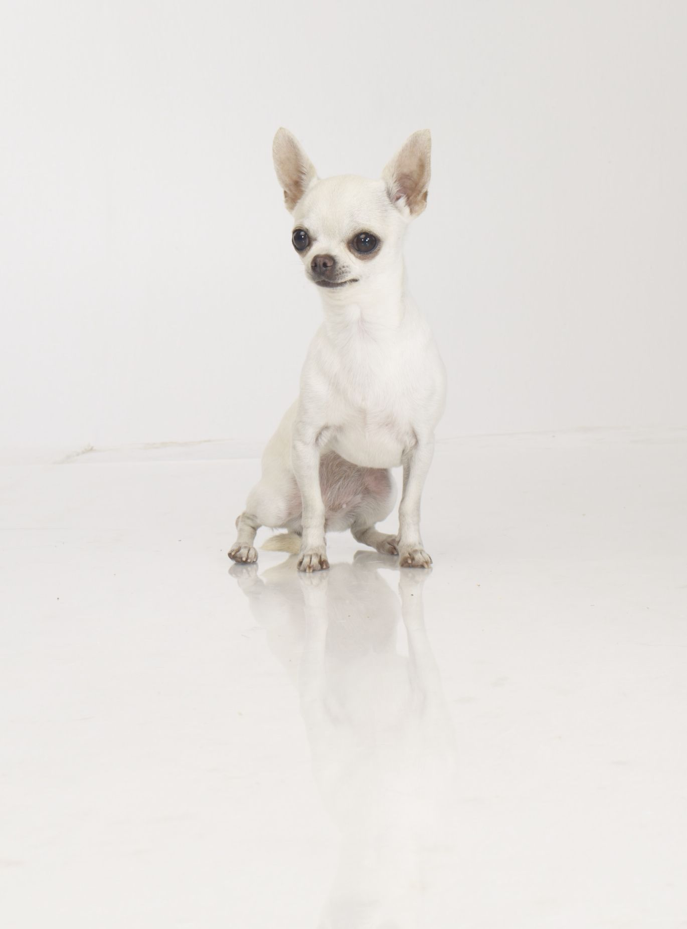 My Beautiful Dolly Tiny Chihuahua By Gabriel Chihuahua Love