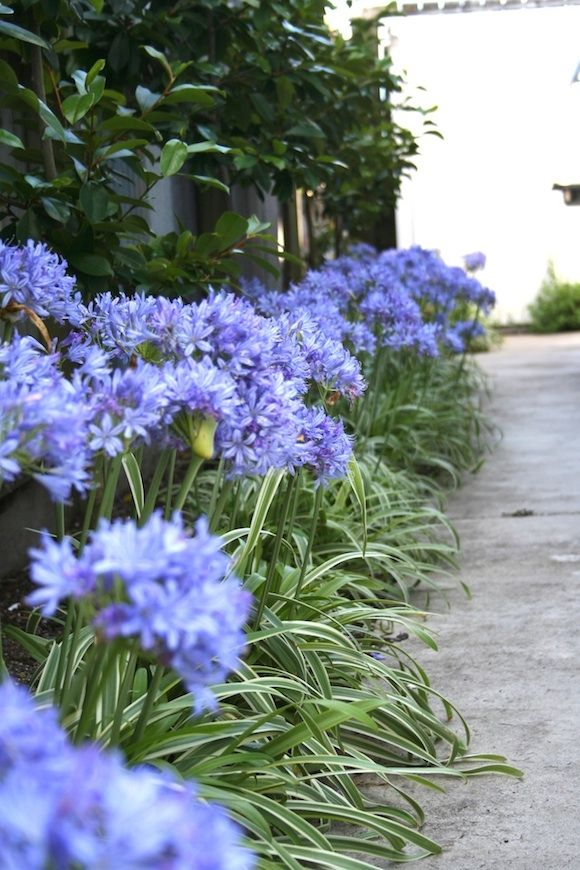 Thunderstorm Agapanthus Makes A Terrific Border Plant Agapanthus Garden Plants Border Plants