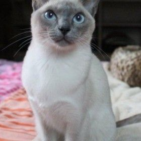 Tonkinese Blu Point Siamese Cats Blue Point Tonkinese Cat Burmese Cat