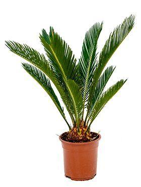 Cycas Palmfarne Pflege Pflanzen Palme Pflege Palmen Garten