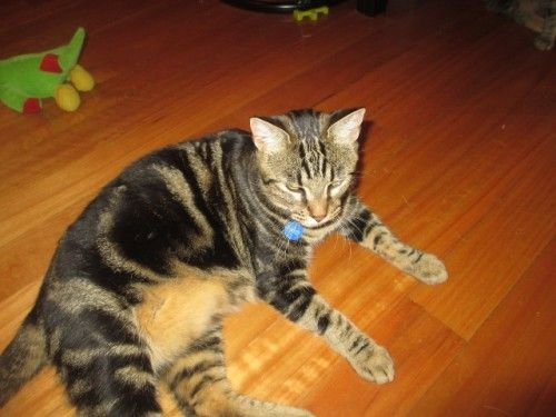 Lost Cat Marble Tabby Beldon Perth Wa 6027 Bengal Cat Lost Cat Cats