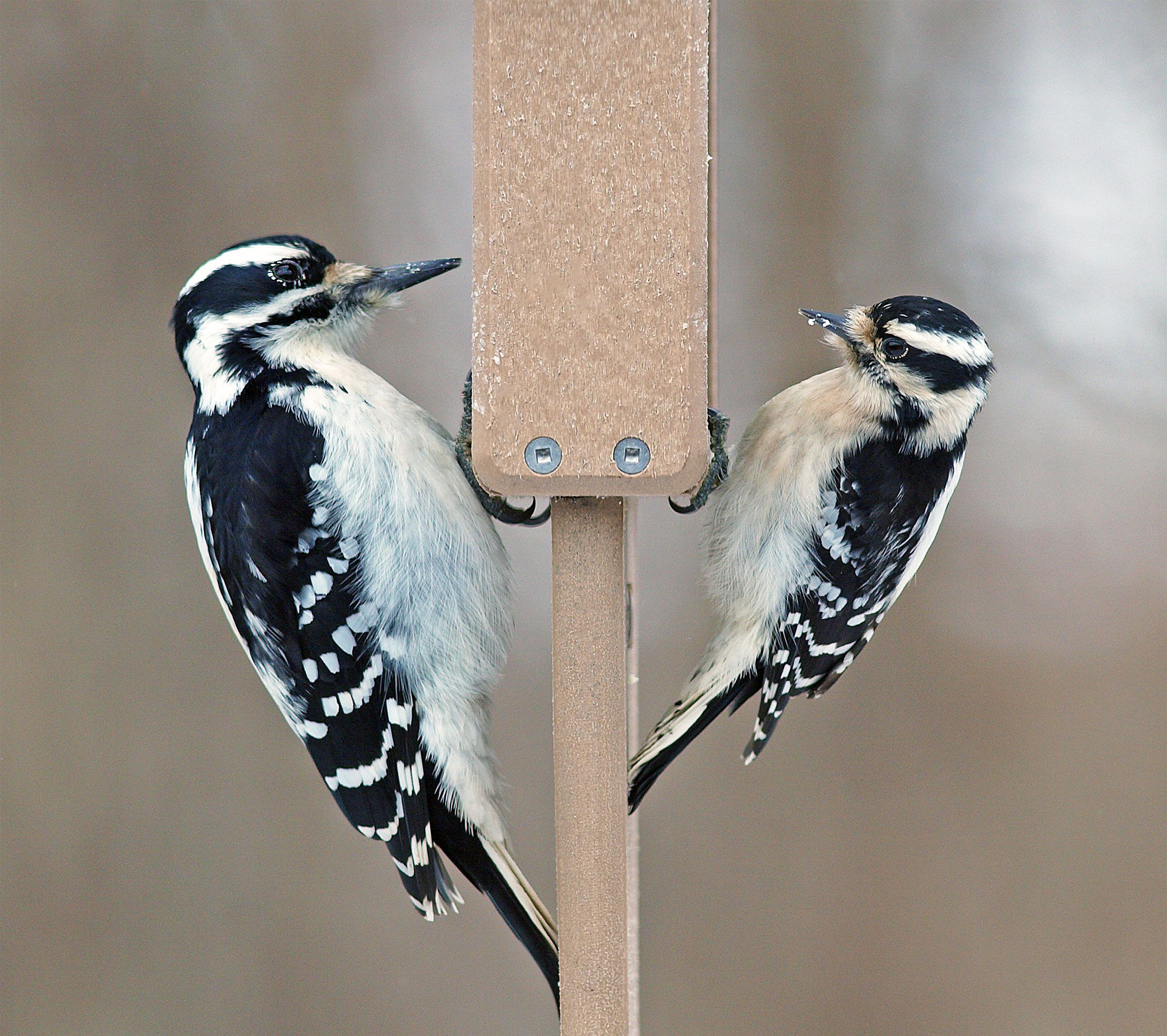 There S A New Theory For Why Downy And Hairy Woodpeckers Look So