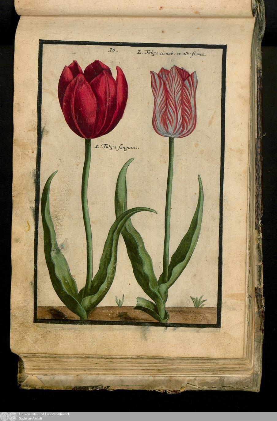47 - XXX. Tulipa Latifol. Flore Sanguineneo. Flore Miniato Flamcandican Vario. - Seite - Inhouse-Digitalisierung