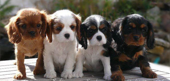 Cavaliers All Four Colors King Charles Spaniel Cavalier King Charles Spaniel Cavalier Puppy