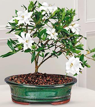Gardenia Bonsai With Images Bonsai Plants Flowers