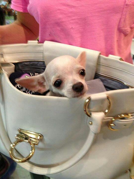 Chihuahua Chihuahua Puppies Chihuahua Cute Chihuahua