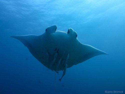 Photo id of Manta Ray in Ponta do Ouro Mozambique.