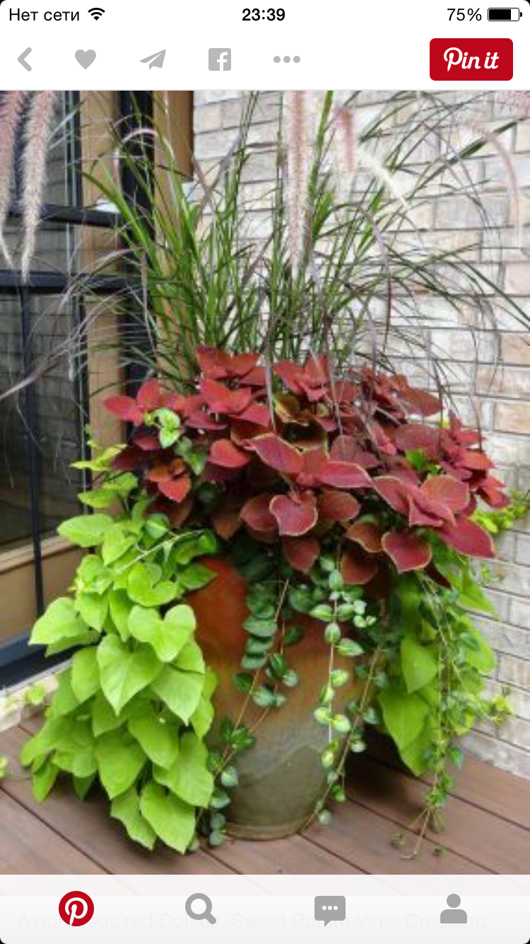 A gorgeous red Coleus, Sweet Potato Vine, Creeping Jenny?, and ornamental  grass make a stunning combination.This is perfect for my front porch.